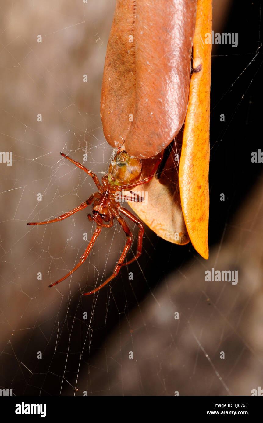 Blatt Curling Spinne (Phonognatha Joannae), schaut das Versteck aufgerollt Blatt ein ein Refugium, Neu-Kaledonien, Stockbild