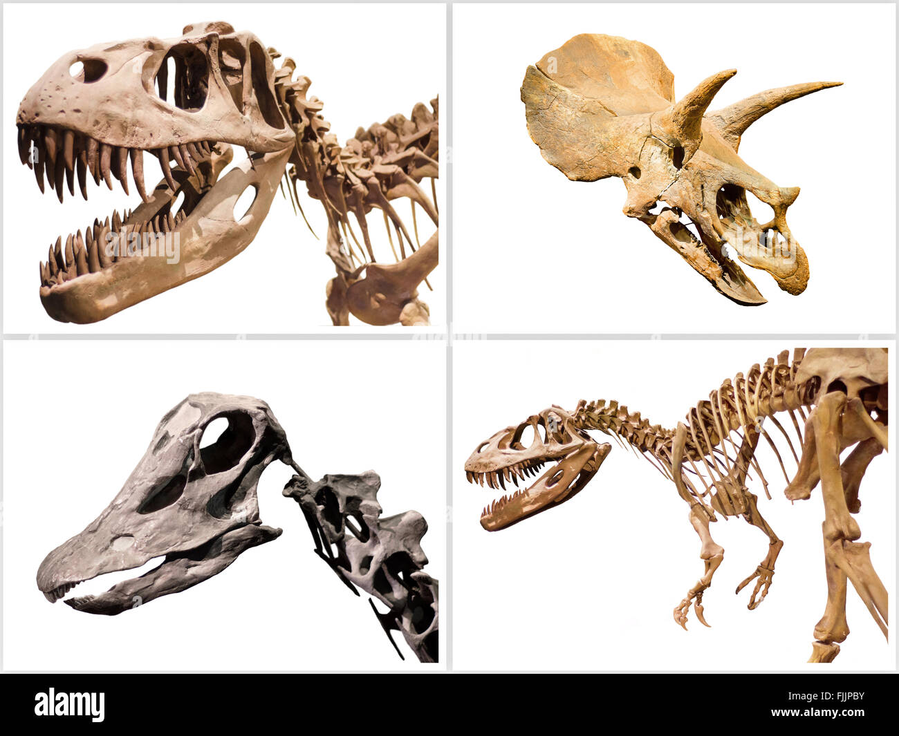 Satz von Dinosaurier Skelett T-Rex, Diplodocus, Triceratops, auf dem weißen Hintergrund isoliert. Stockbild