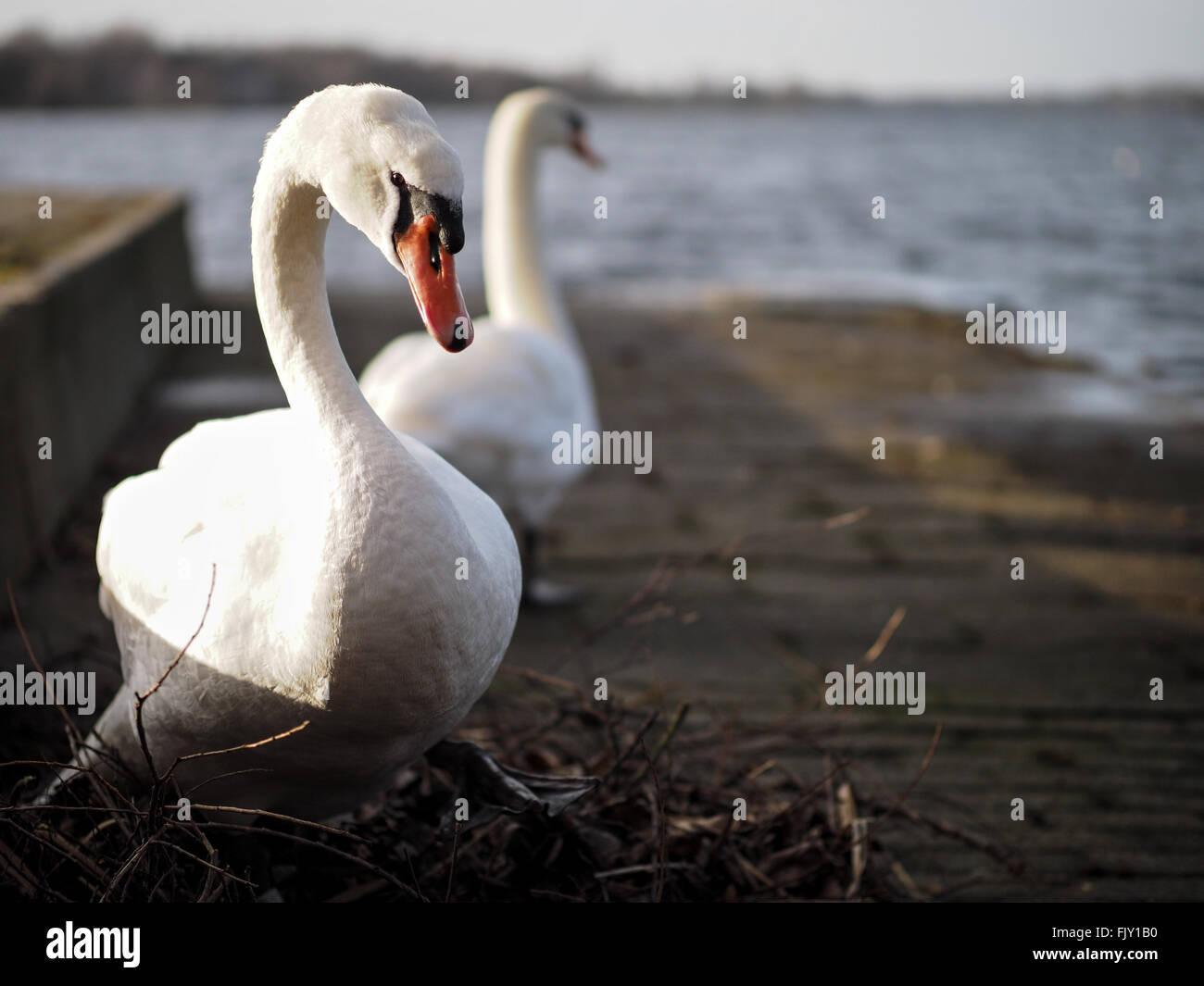 Schwäne gegen See an sonnigen Tag Stockbild
