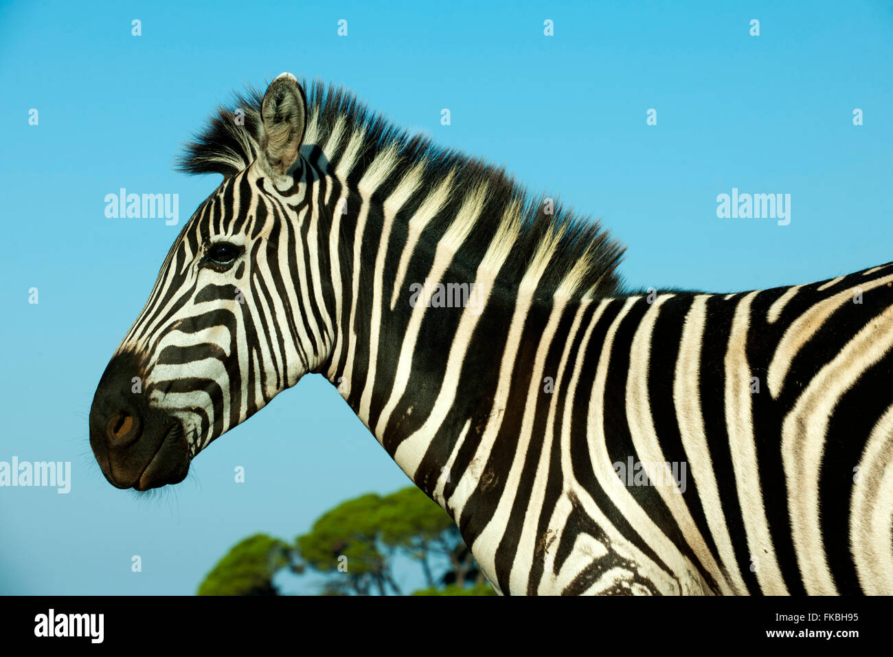Kroatien, Istrien, Insel Veli Brijuni im Nationalpark Brijuni-Inseln vor Pula. Steppenzebra (Equus quagga) oder Stockbild