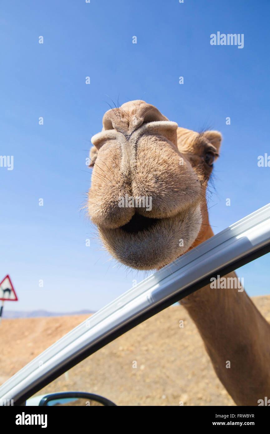 Neugierig und freundlich Kamel in der Nähe von Salalah, Oman... Stockbild