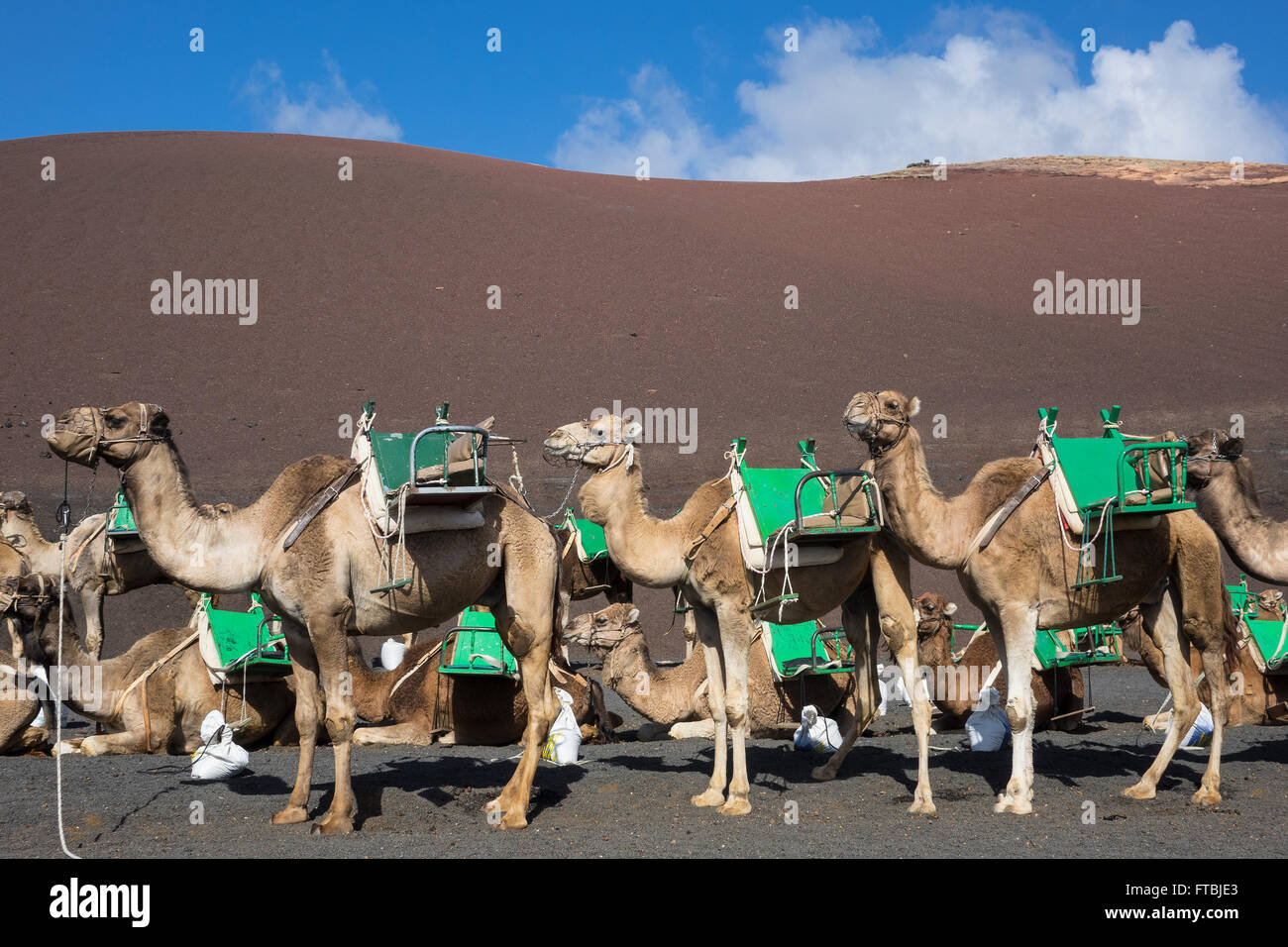Spanien, Kanarische Inseln, Lanzarote, Timanfaya Kamele Stockbild