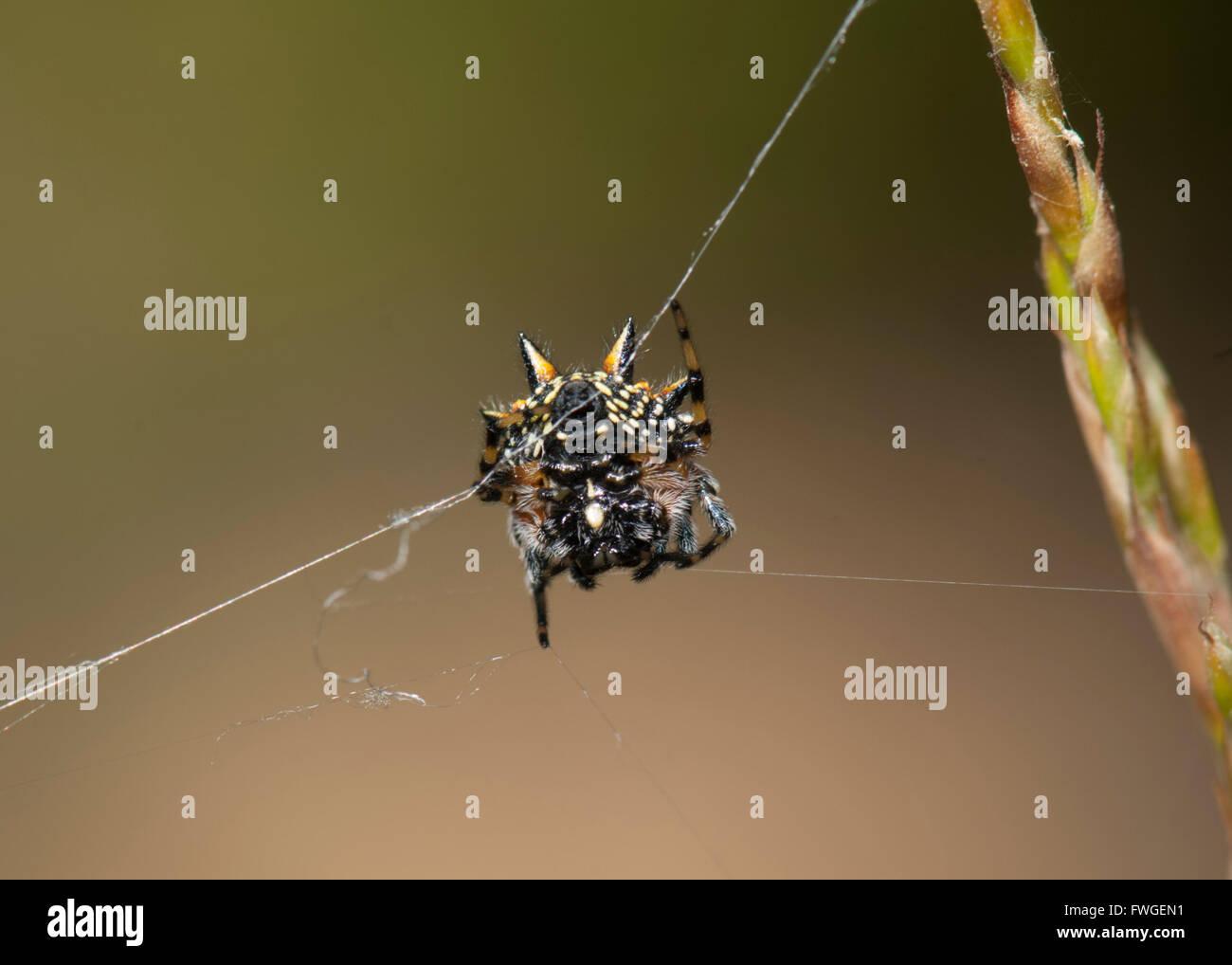 Unterseite eines australischen Juwel Spinne (austracantha minax ...