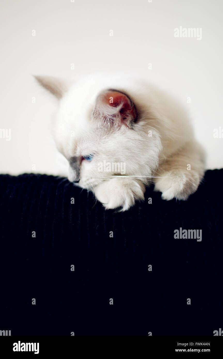 Weiße Kätzchen auf der Suche nach unten zu Hause Stockbild