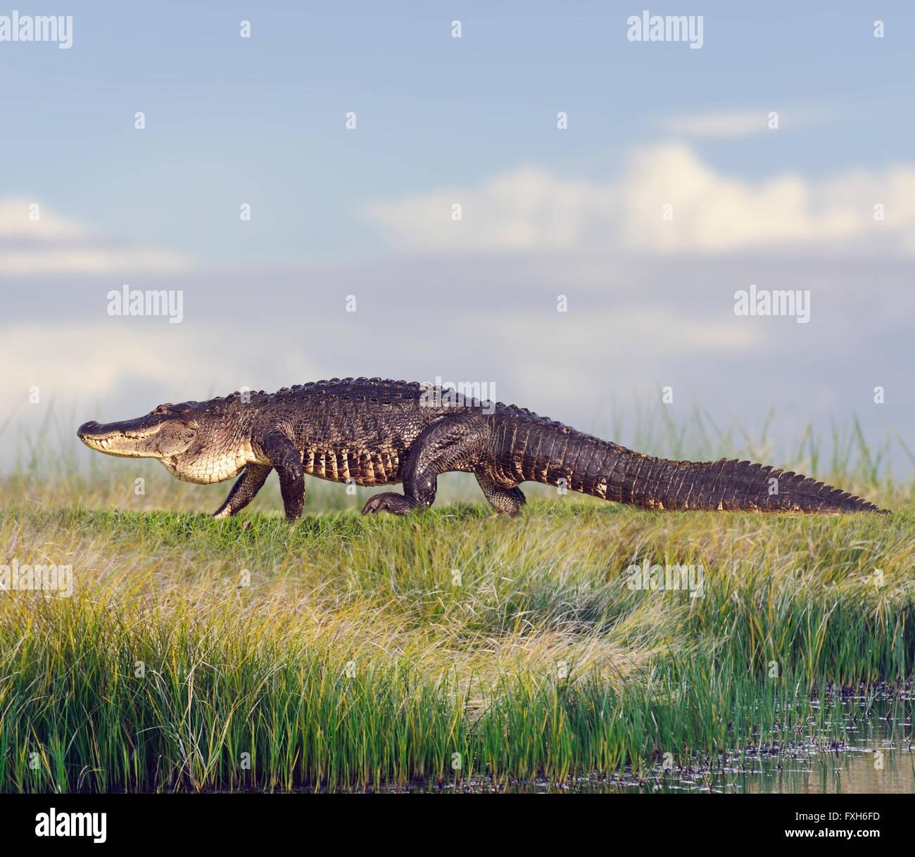 Großen Florida Alligator in Feuchtgebieten Stockbild