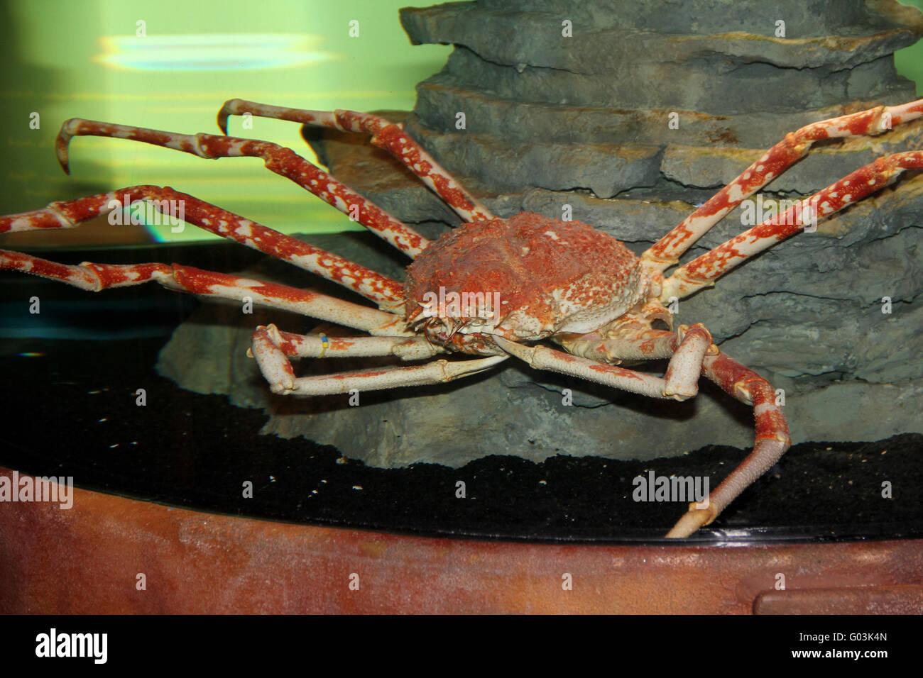 spidercrabs sea life berlin stockfoto bild 103343093 alamy. Black Bedroom Furniture Sets. Home Design Ideas