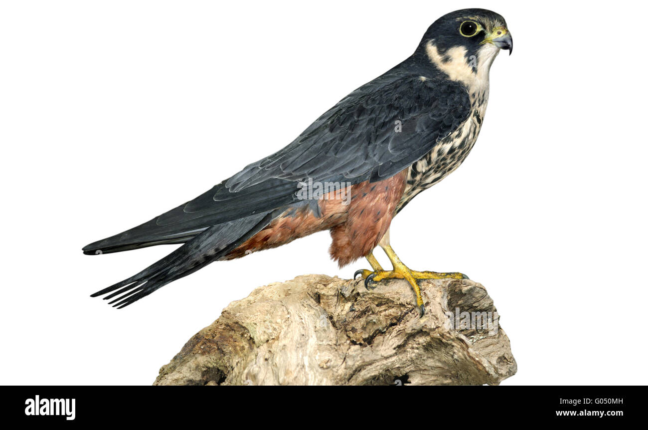 Hobby - Falco subbuteo Stockbild
