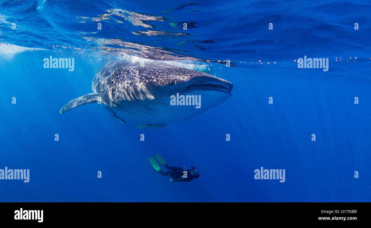 Walhai mit Taucher Schwimmen unter Stockbild