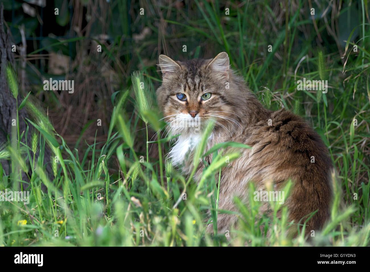 Hauskatze, blind auf einem Auge, Sardinien, Italien Stockbild