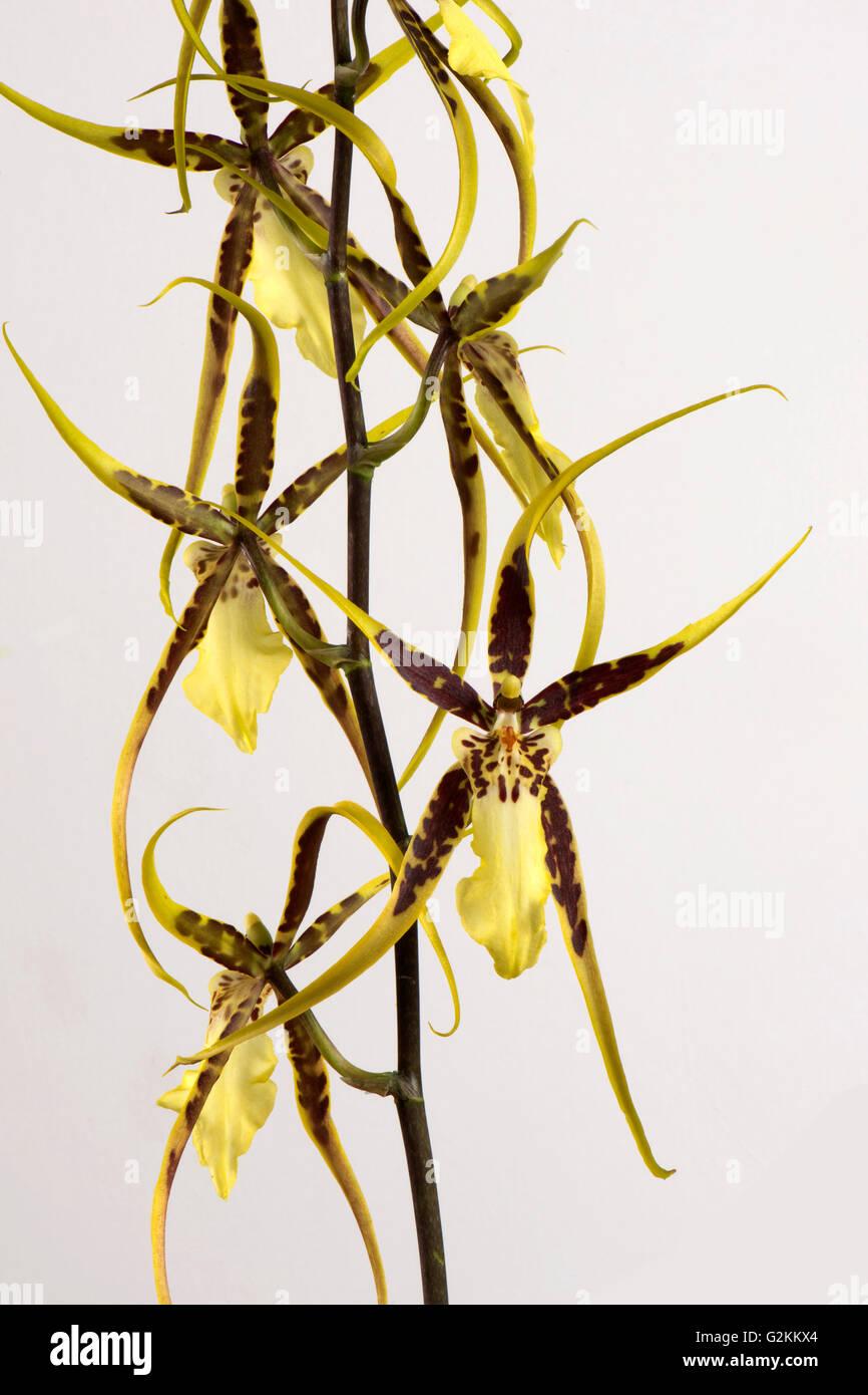 """Blumen von einer Spinne Typ Orchidee Brassidium """"Shooting Star"""", Topf gewachsen Zimmerpflanze Stockbild"""