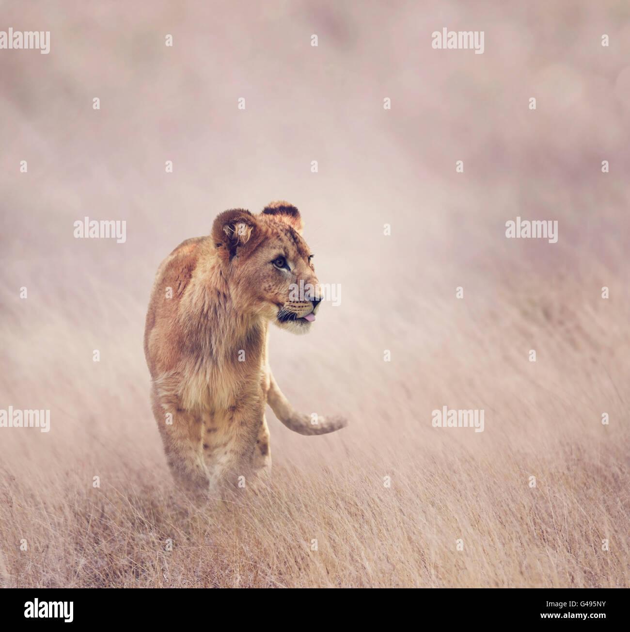 Löwenjunges zu Fuß auf dem Rasen Stockbild