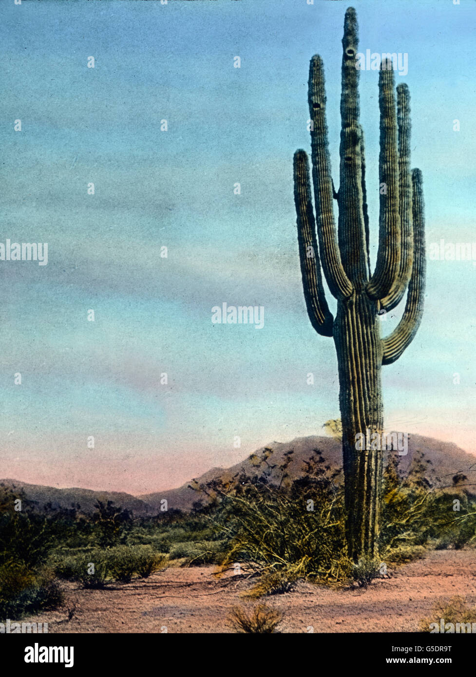 Ein Riesenkaktus in der Wüste es U.S. Bundesstaats Arizona.  Amerika, Amerika, Nord, Nord, USA, Vereinigte Staaten Stockfoto
