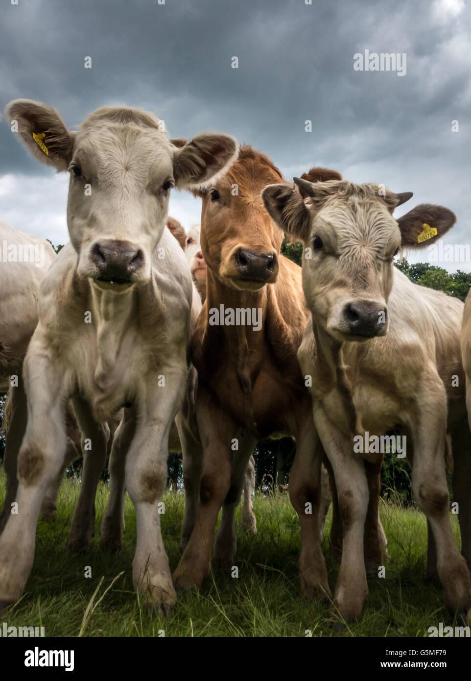 Neugierige Kühe genommen aus einem niedrigen Winkel aufgereiht, Yorkshire, Großbritannien Stockbild
