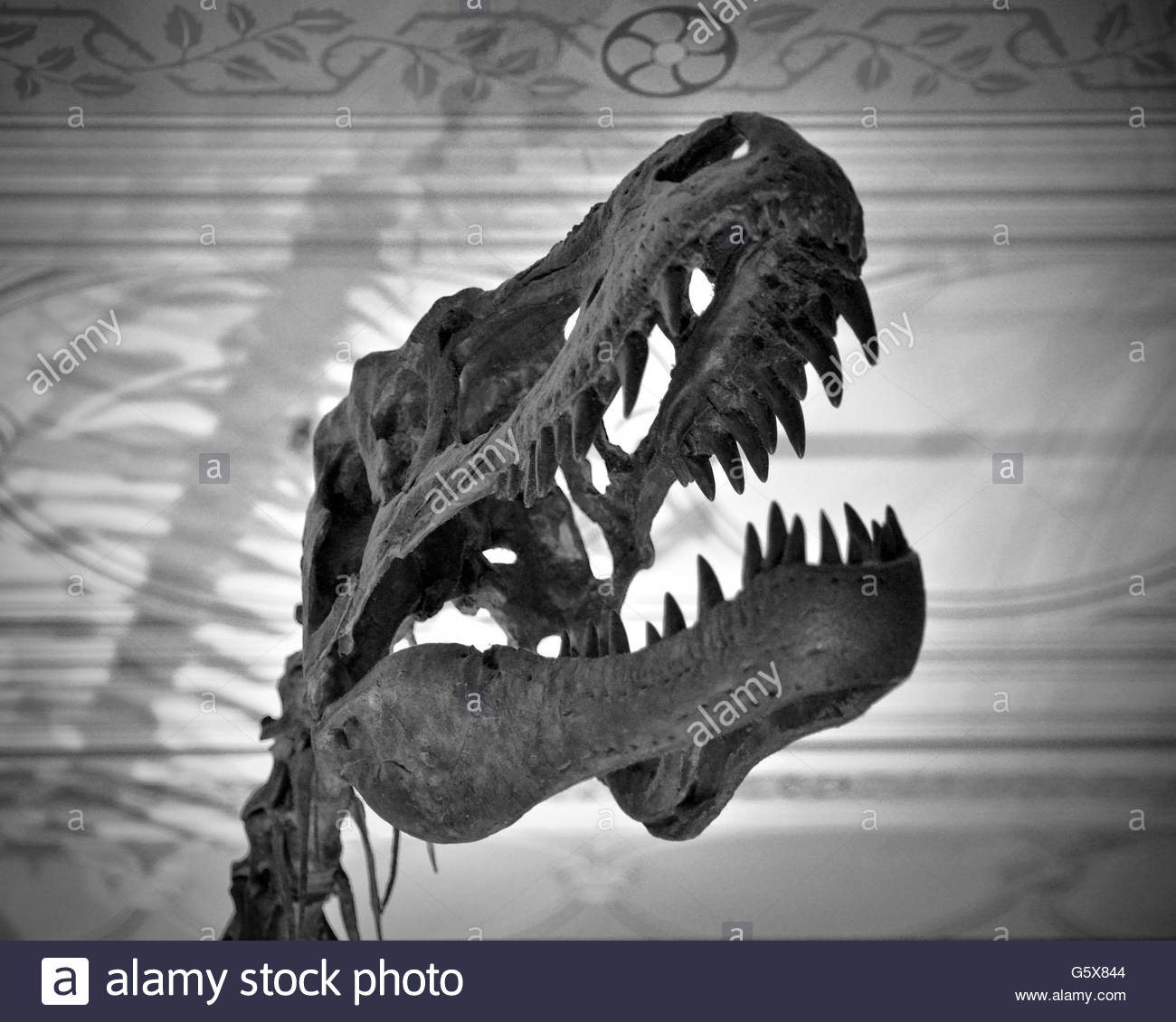 dinosaur skeleton bones head stockfotos dinosaur skeleton bones head bilder alamy. Black Bedroom Furniture Sets. Home Design Ideas
