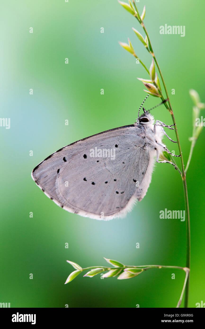 Holly blue (Celastrina Argiolus) Sussex, UK. Juni. Stockbild