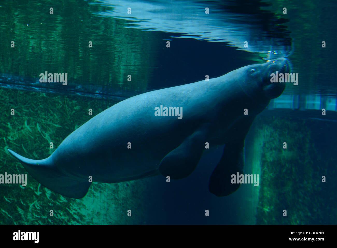 Karibik-Oder Nagel-Manati (Trichechus Manatus), Aquarium, Zoo, Breslau, Niederschlesien, Polen Stockbild