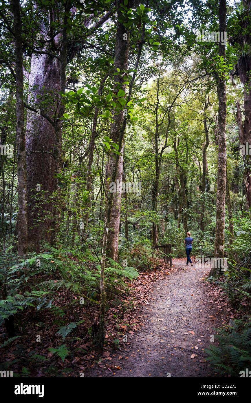 Touristischen Erkundung Waipoua Kauri Forest, Region Northland, North Island, Neuseeland, Pazifik Stockbild