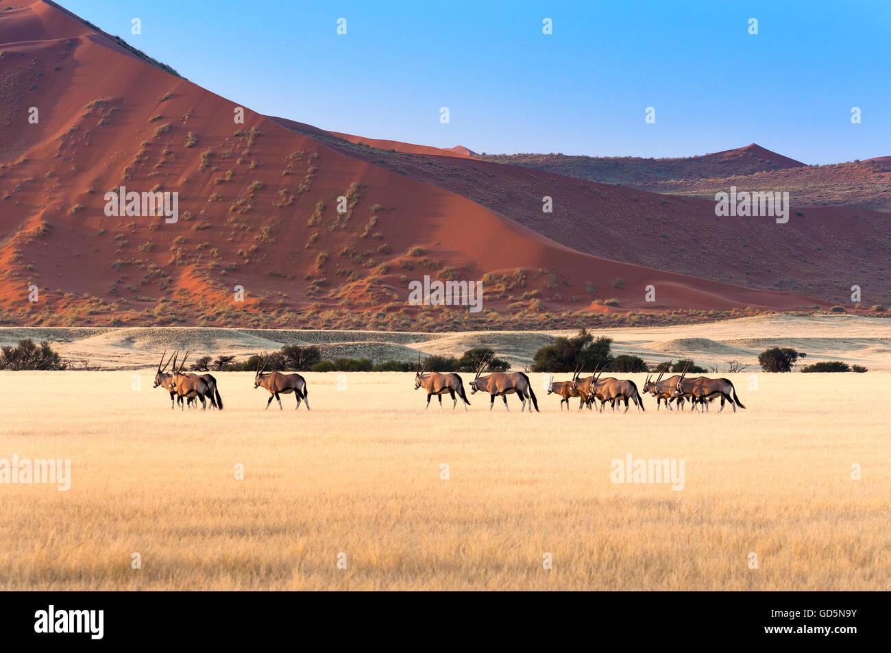 Herde von Gemsbok in Sossusvlei, Namibia Stockbild