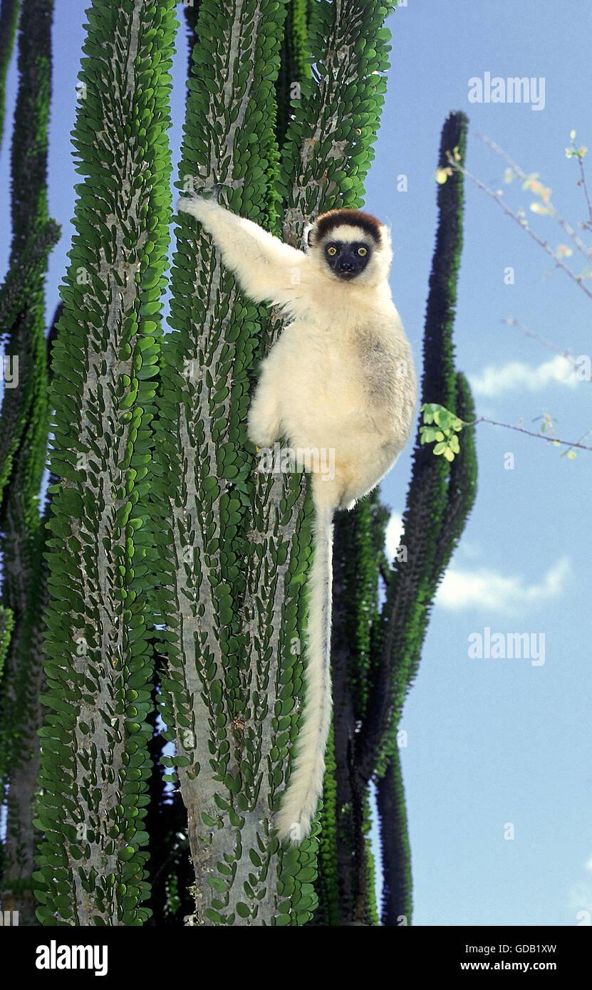 VERREAUX SIFAKA Propithecus Verreauxi, Erwachsene auf Madagaskar OCOTILLO Alluaudia Procera, BERENTY RESERVE IN Stockbild