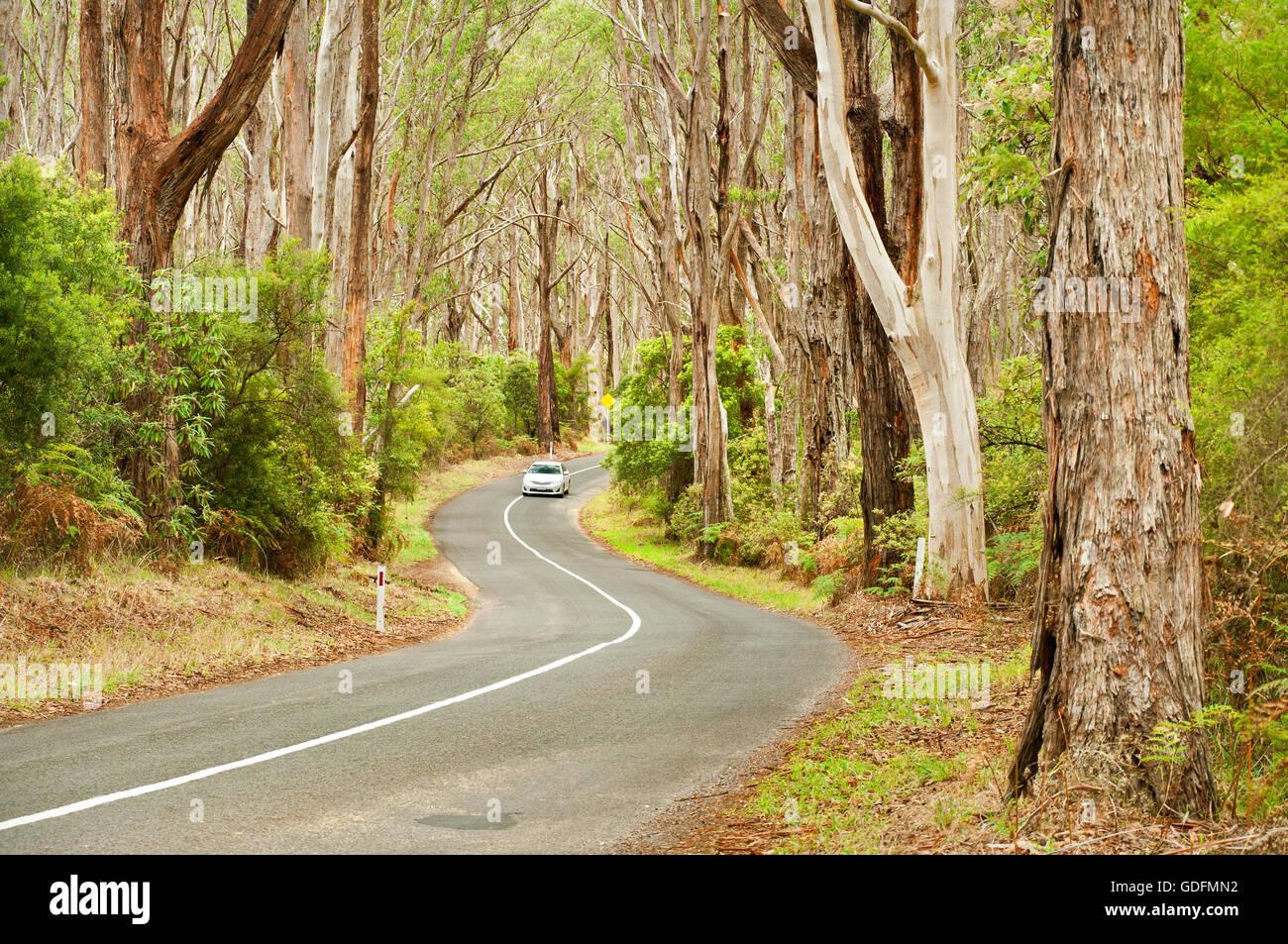 Auto auf einer Straße durch alten Eukalyptus-Wald. Stockbild