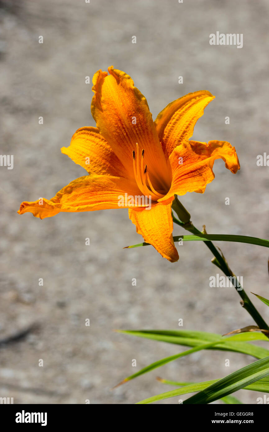 """Lebhaft gelb orange Trompete Blume von der Taglilie Hemerocallis """"Burning Daylight"""" Stockbild"""