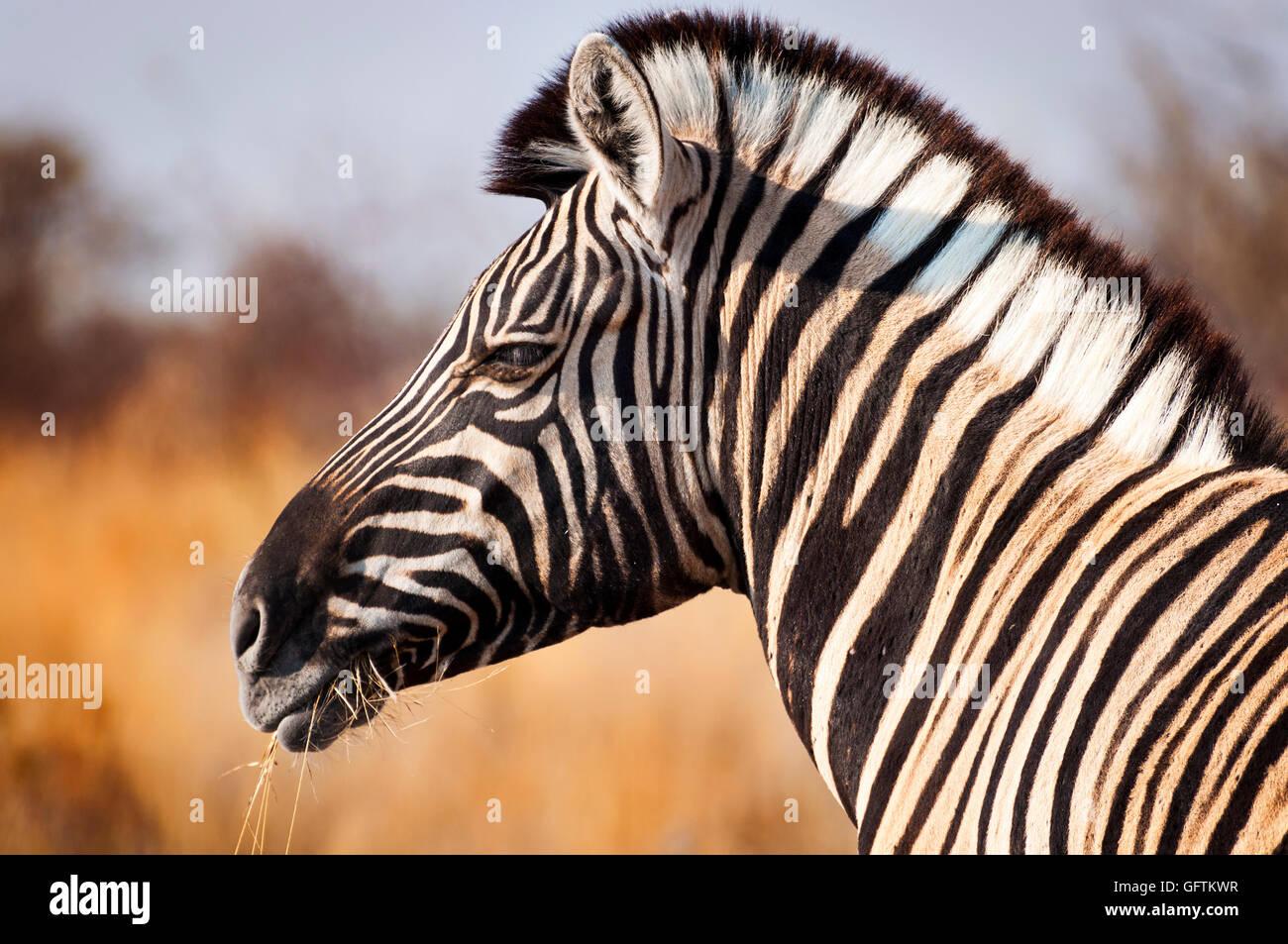Kopf eines Zebras im Etosha Nationalpark in Namibia, Afrika-Konzept für das Reisen in Afrika Stockbild