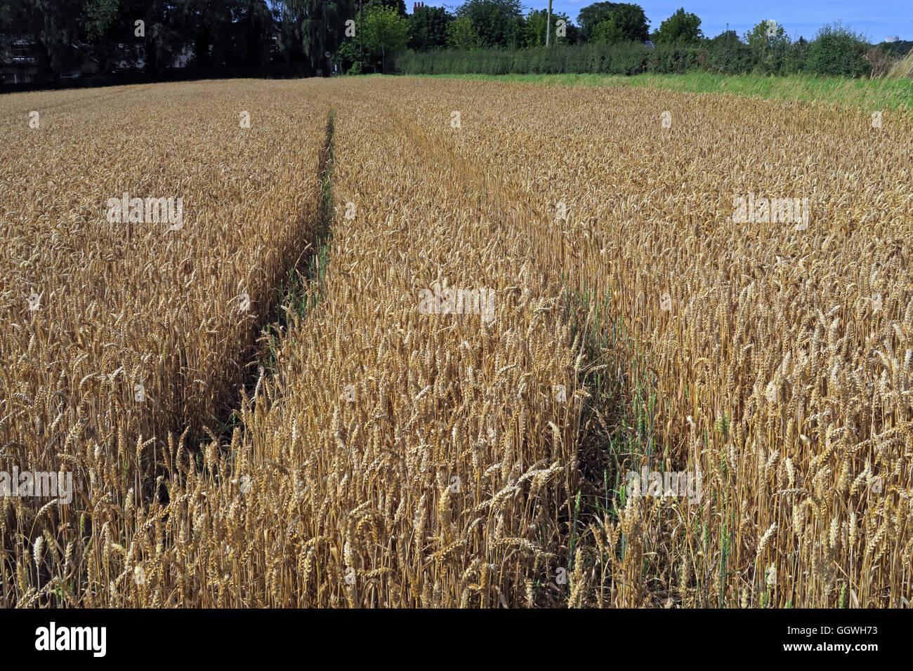 Laden Sie dieses Alamy Stockfoto Weite Einstellung auf ein Feld von Gerste, zur Ernte bereit, Preston auf dem Hügel, Halton, Cheshire, North West England - GGWH73