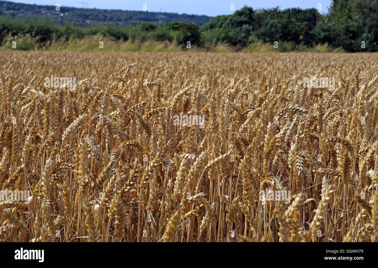 Laden Sie dieses Alamy Stockfoto Bereich der Gerste, zur Ernte bereit, Preston auf dem Hügel, Halton, Cheshire, North West England - GGWH79
