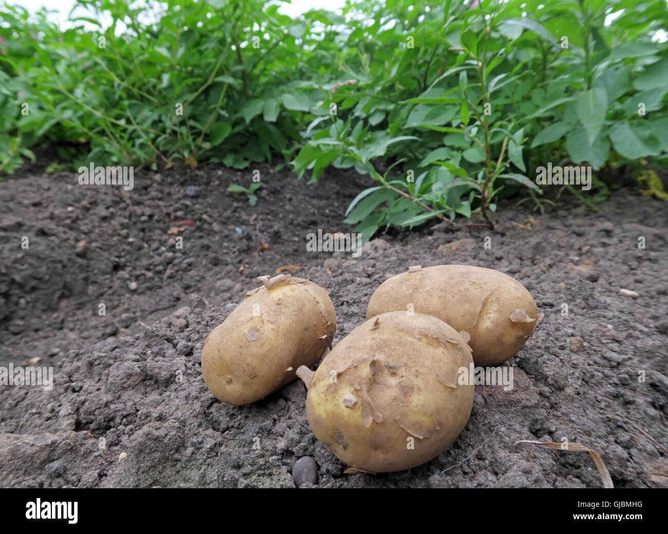 Laden Sie dieses Alamy Stockfoto Wo Kartoffeln kommen aus, Knollen in einer Hand, im Bereich der Kartoffelernte, Cheshire, North West England, Großbritannien - GJBMHG