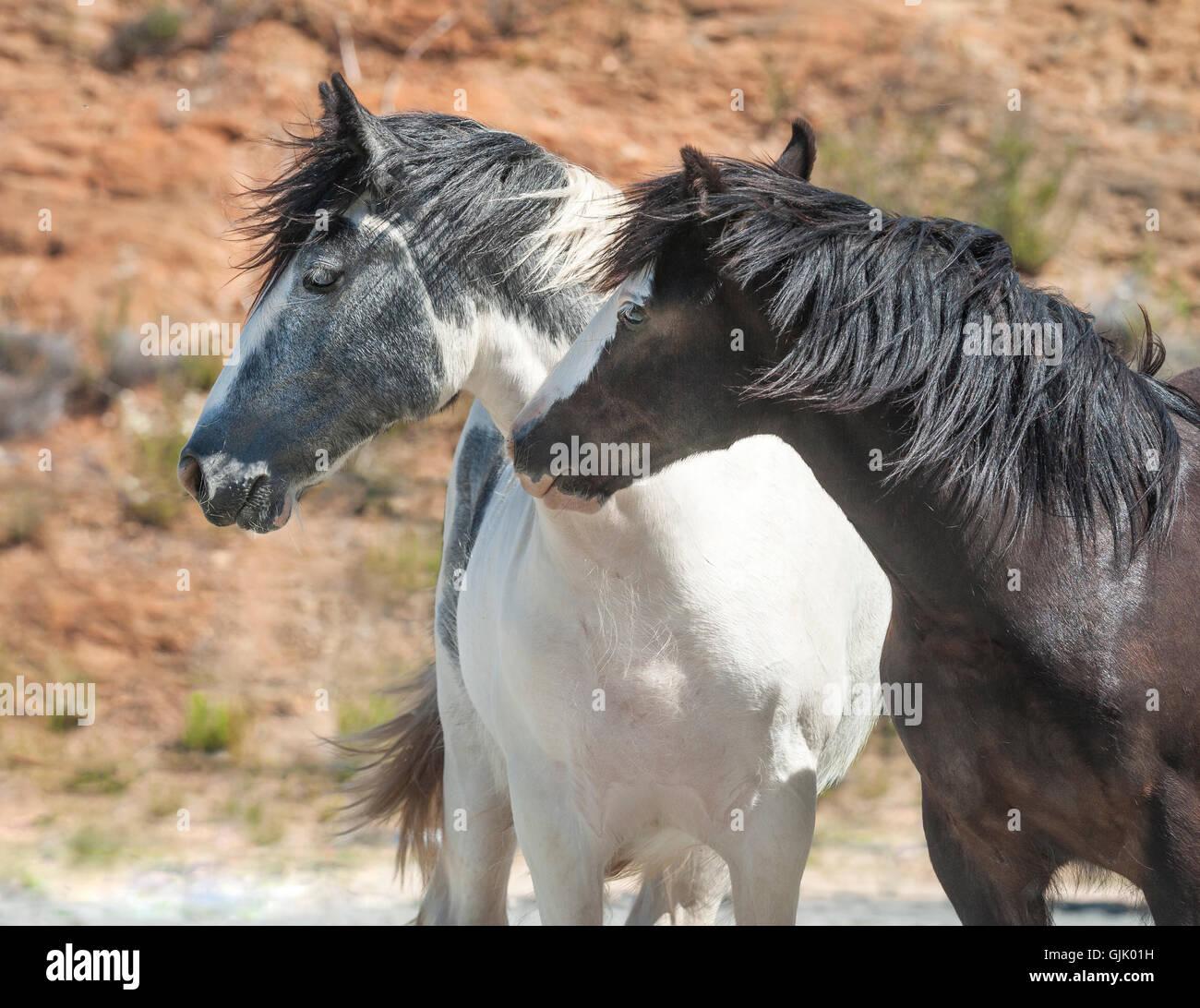 Neugierig Gypsy Vanner Horse Hengstfohlen spielen Stockbild