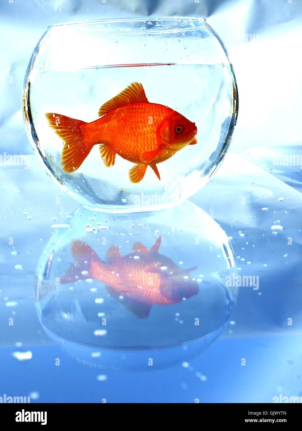 goldfische stockfotos goldfische bilder alamy. Black Bedroom Furniture Sets. Home Design Ideas
