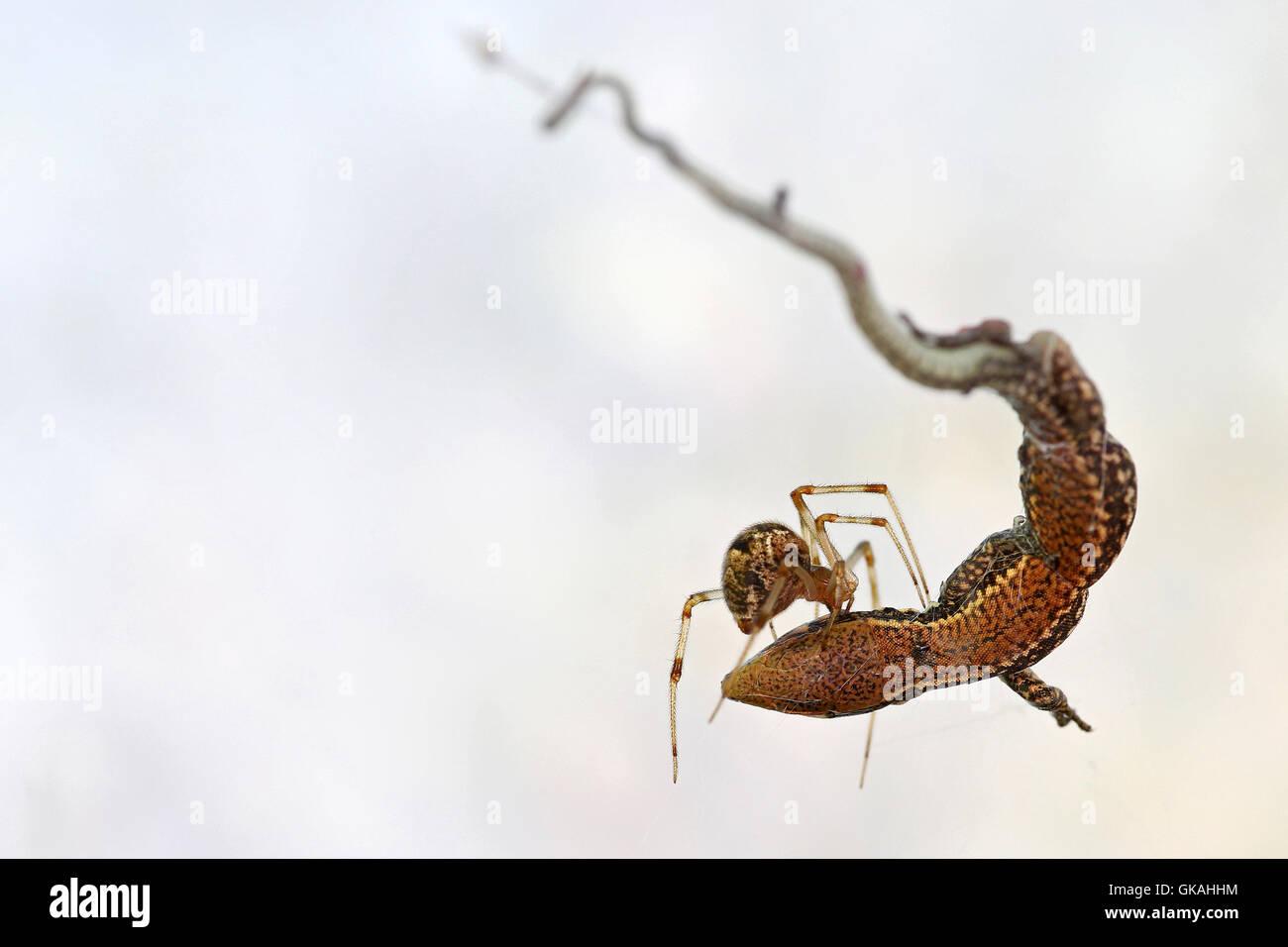 Fütterung auf eine kleine Eidechse Spinne gefangen im Netz vor einem weißen Hintergrund Stockbild