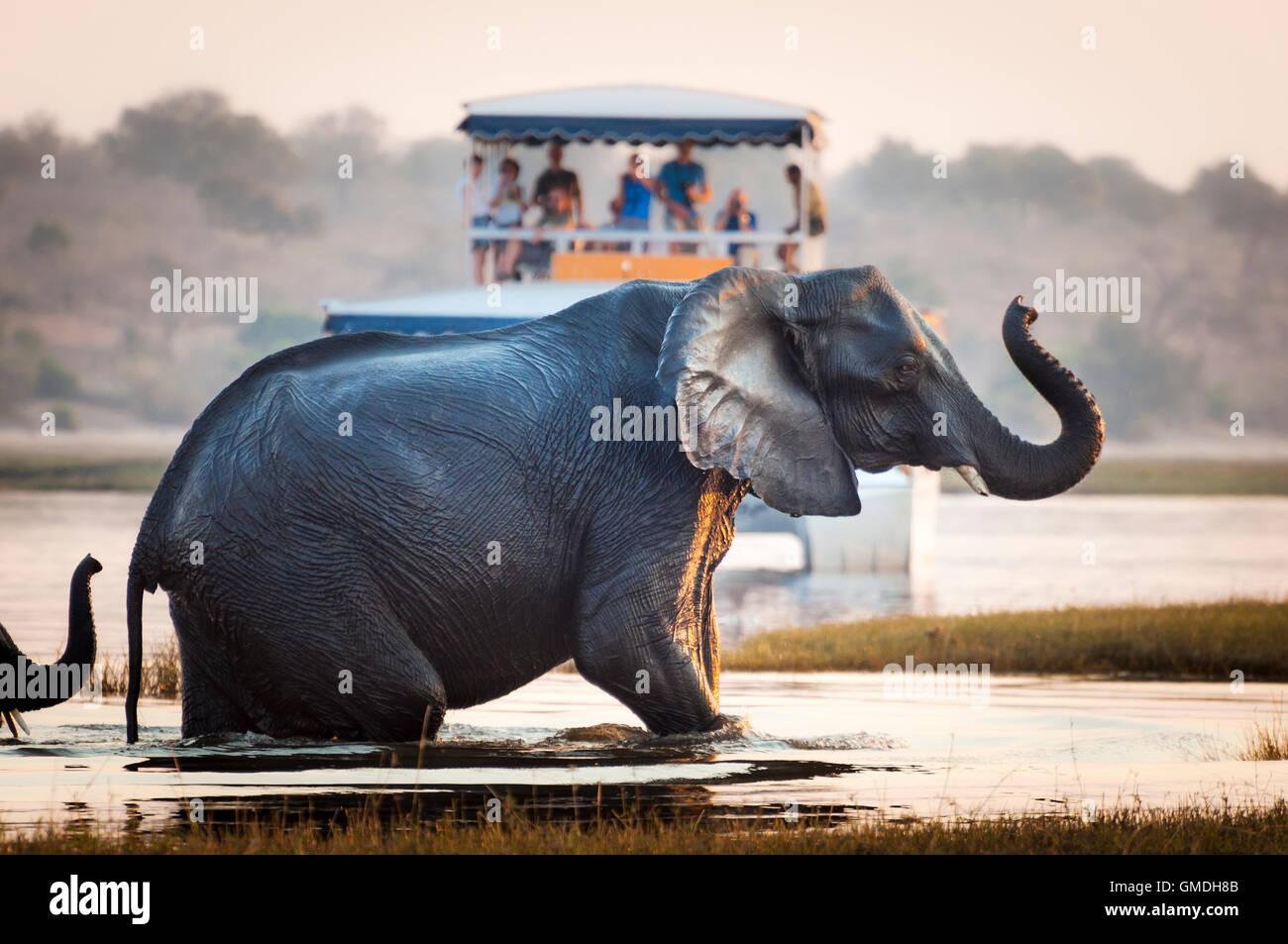 Touristen, die gerade einen Elefanten überqueren eines Flusses im Chobe Nationalpark in Botswana, Afrika; Stockbild