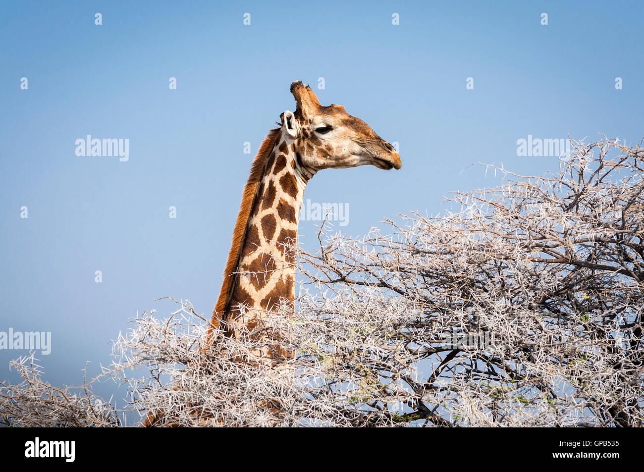 Kopf einer Giraffe Essen von einem Baum in der Etosha Nationalpark in Namibia, Afrika; Konzept für Reisen in Stockbild