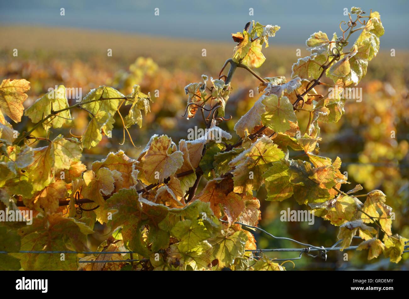 Herbst Weinblätter in den Weinbergen, verziert mit Eiskristallen vor dem ersten Frost, Weinregion Stockbild