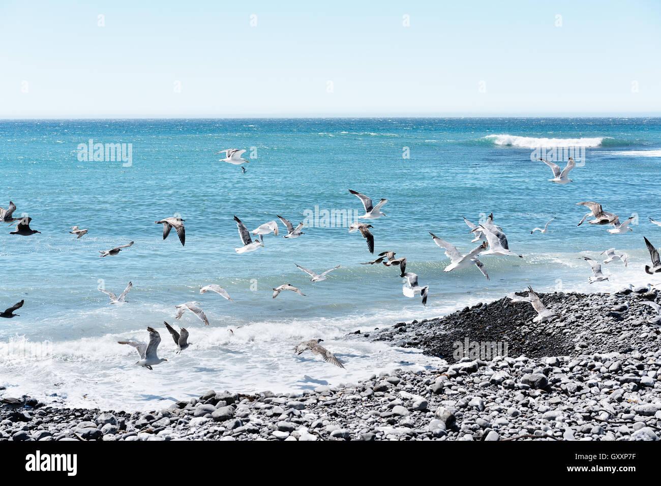 Möwen fliegen entlang der Küste von Nord-Kalifornien The Lost Coast Stockbild