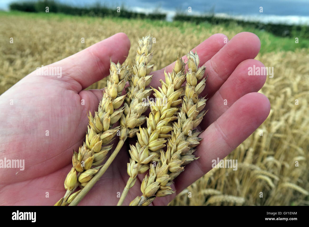Laden Sie dieses Alamy Stockfoto Gerste halten in der Hand, aus einem Feld im Sommer, Cheshire, England, UK - GY1ENM