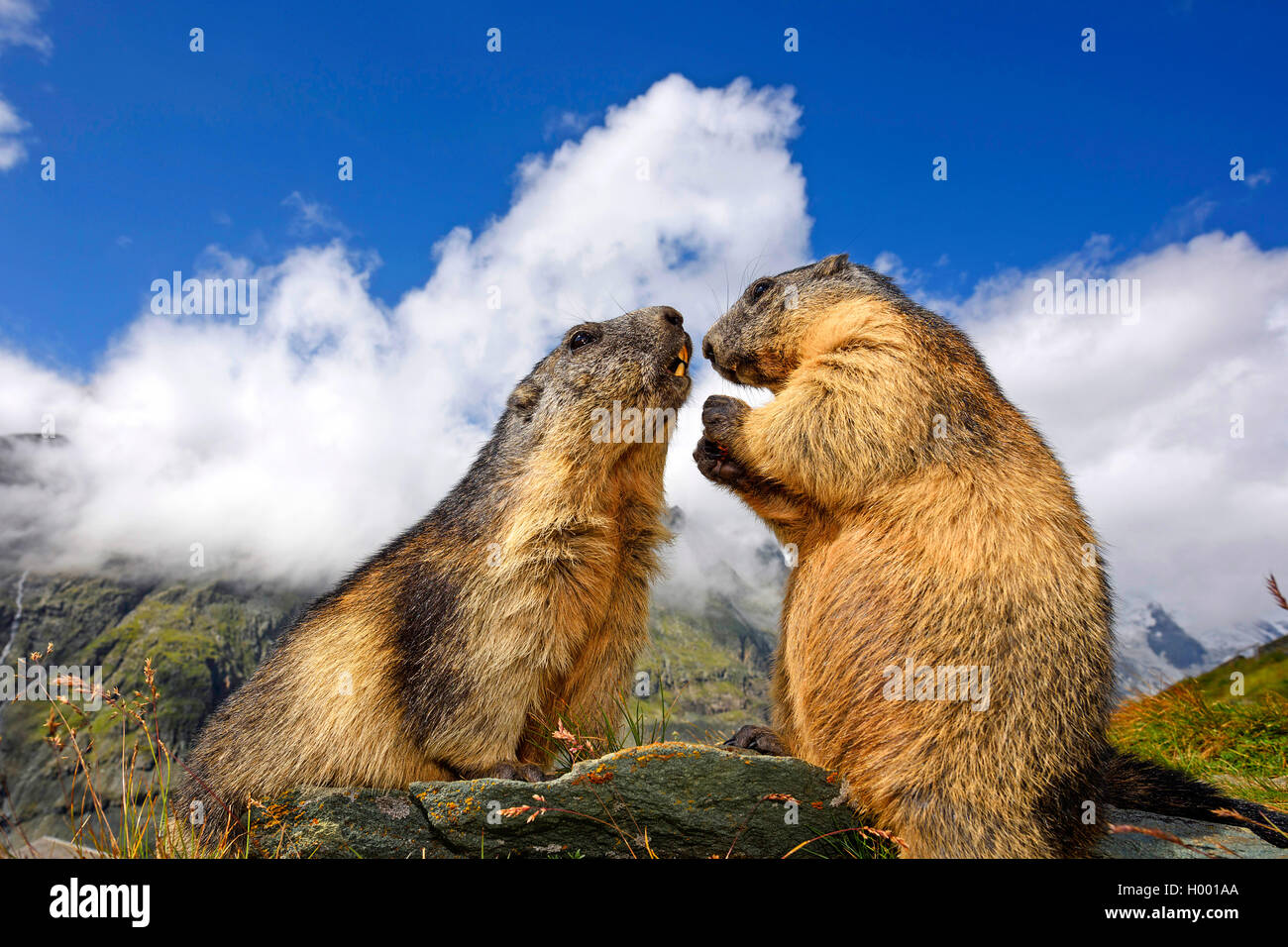 Alpenmurmeltier, Alpen-Murmeltier (Marmota Marmota), Zwei Murmeltiere Begruessen Einander, Italienisch | Alpen-Murmeltier Stockbild