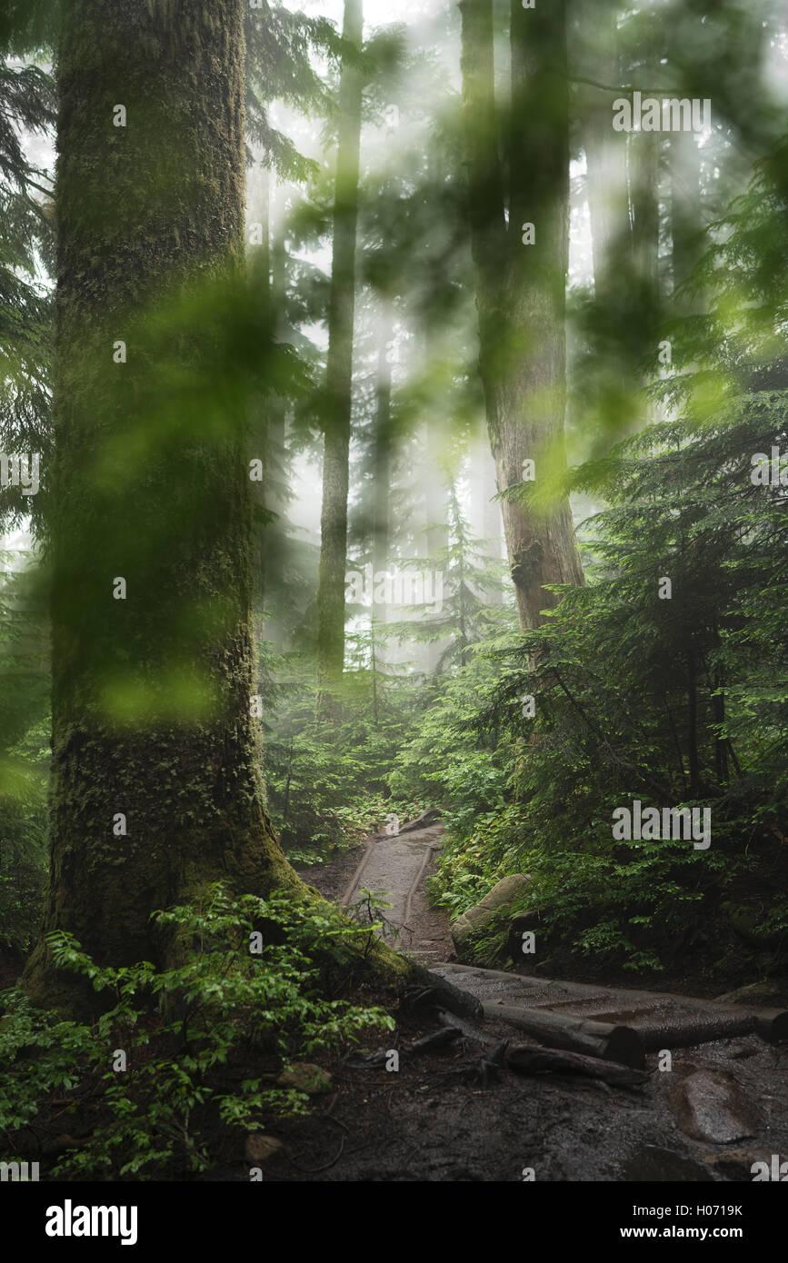 Ein Waldweg auf der Pilchuck Wanderung in der Nähe von Seattle, Washington. Stockbild