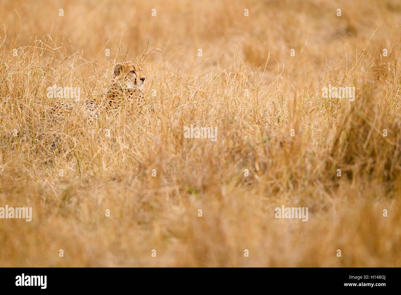 Ein Gepard versteckt inmitten von grass Stockbild