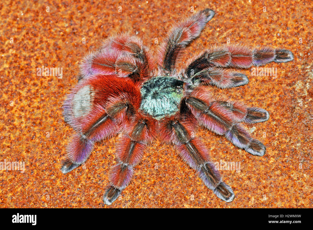 martinique pinktoe vogelspinne avicularia versicolor weiblich stockfoto bild 122267121 alamy. Black Bedroom Furniture Sets. Home Design Ideas