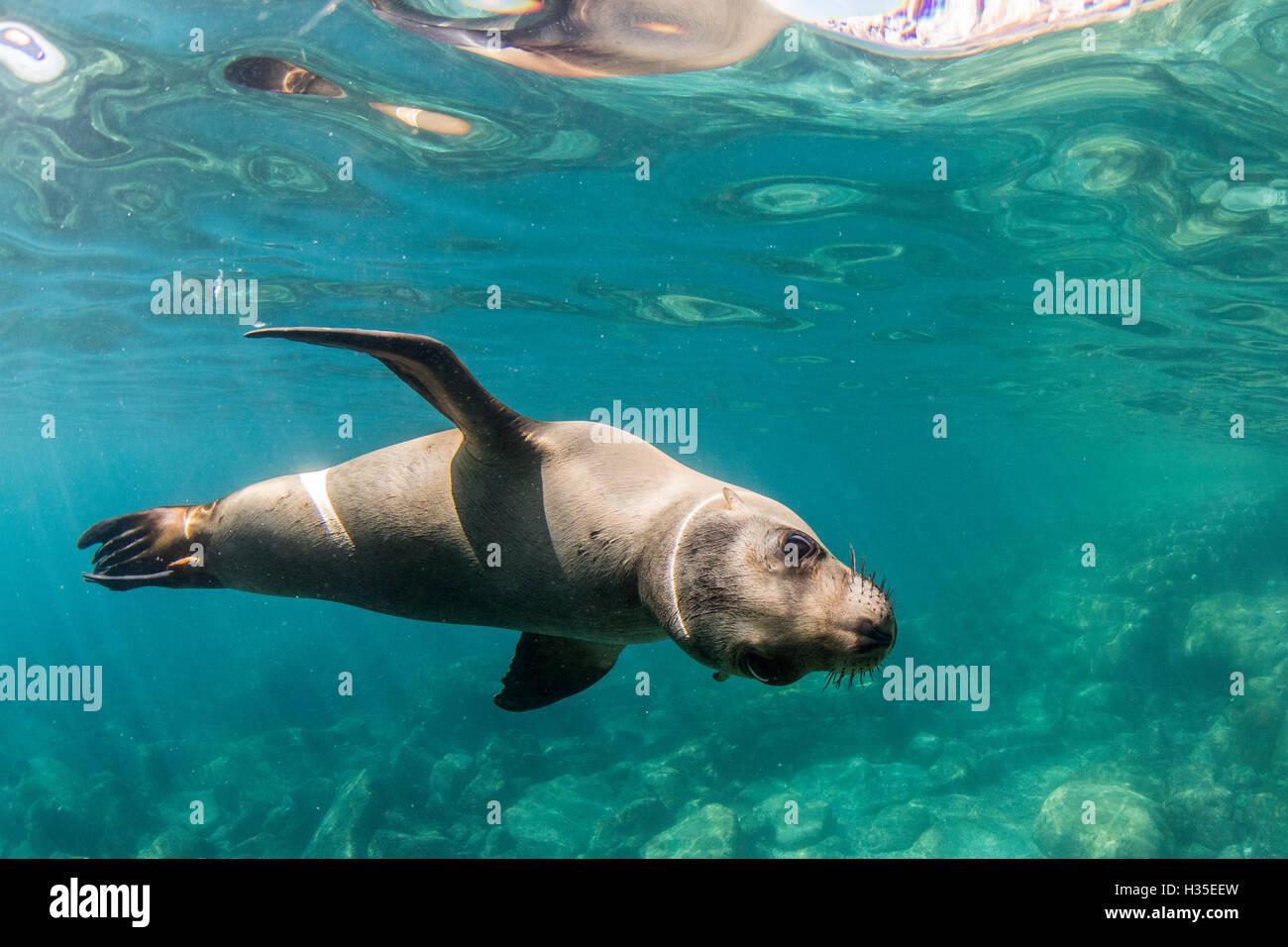 Neugierig kalifornische Seelöwe (Zalophus Californianus) Unterwasser bei Los Islotes, Baja California Sur, Stockbild
