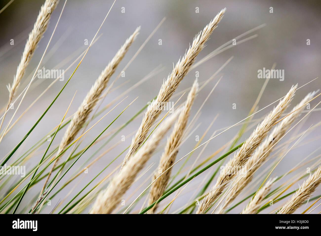 Grass im Wind am Strand von Findhorn Stockbild