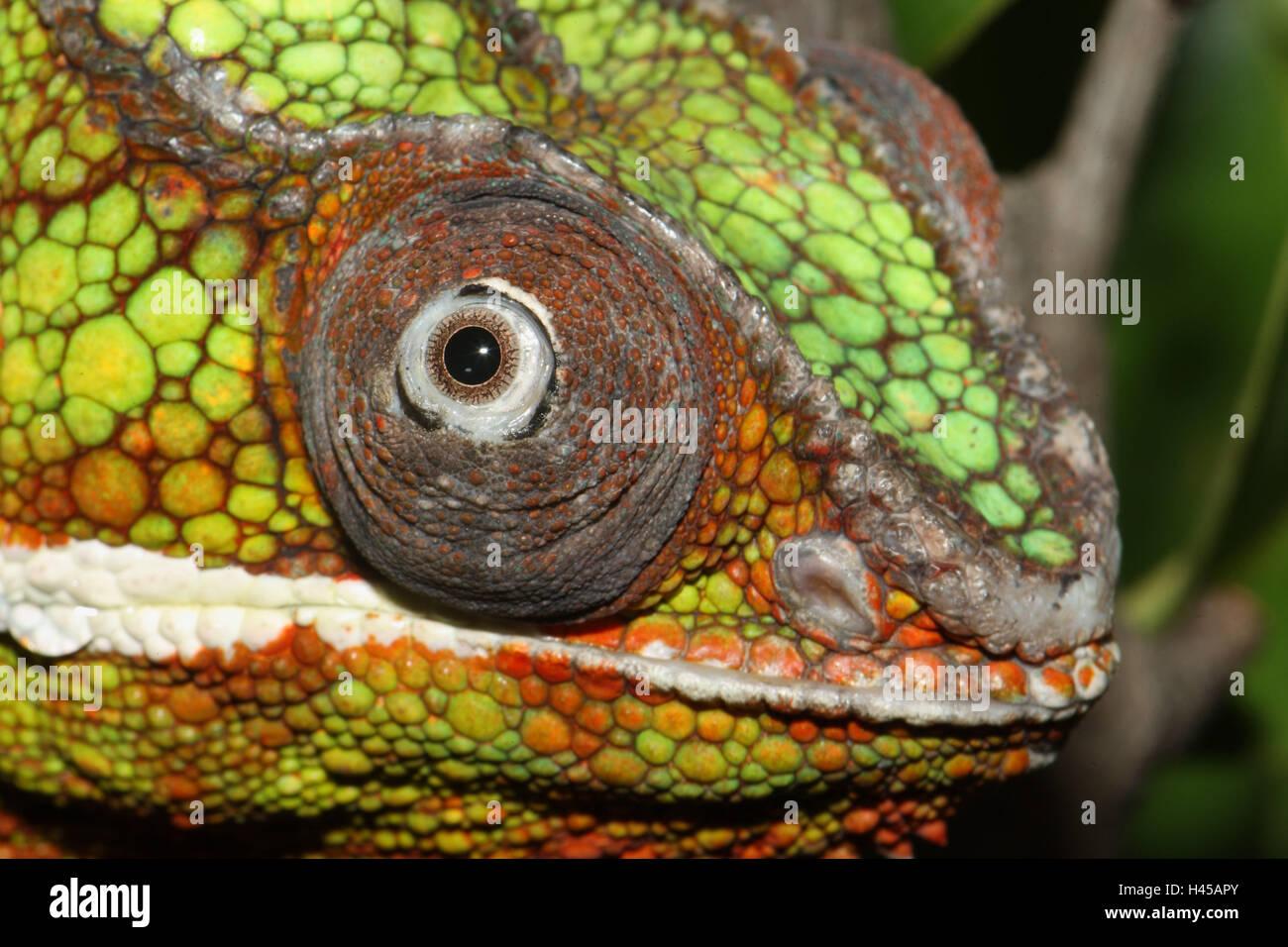 Reptilien, Tier, wildes Tier, Chamäleon, Furcifer Pardalis, Madagaskar, skaliert Reptilien, Kopf, Nahaufnahme, Stockbild