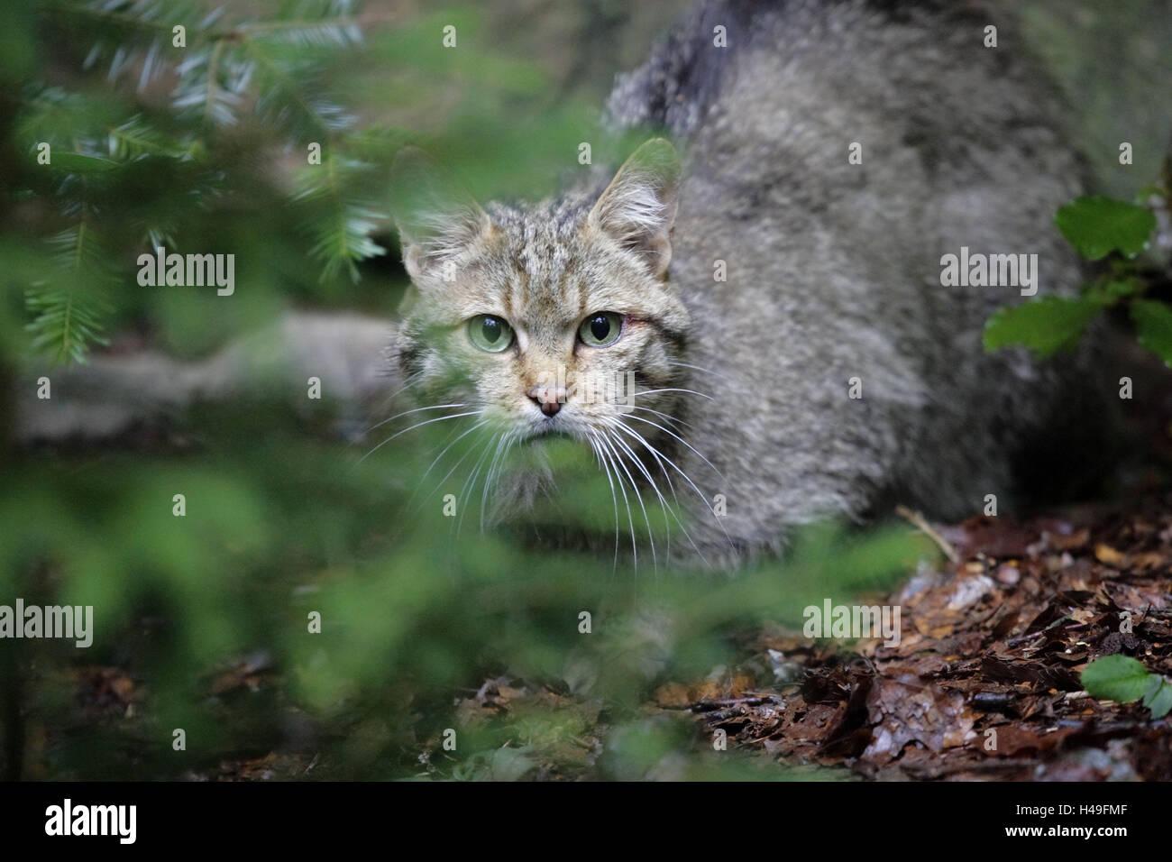 Holz, Wildkatze, Felis Silvestris, Häute, wildes Tier, Wildnis, Tier, Säugetier, Katze, Raubtier, kleine Stockbild