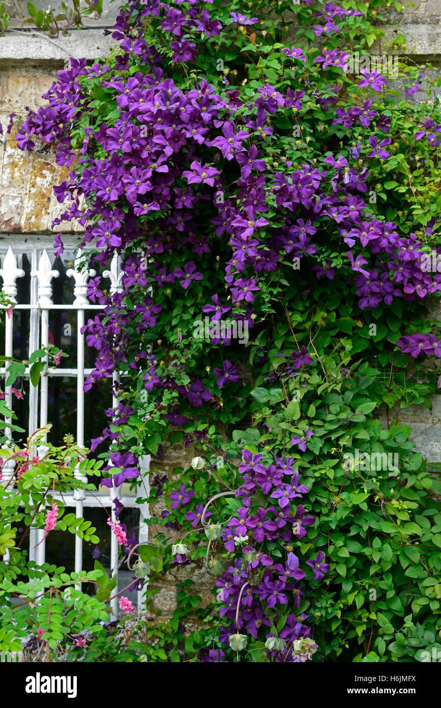 clematis viticella etoile violette stockfotos clematis viticella etoile violette bilder alamy. Black Bedroom Furniture Sets. Home Design Ideas