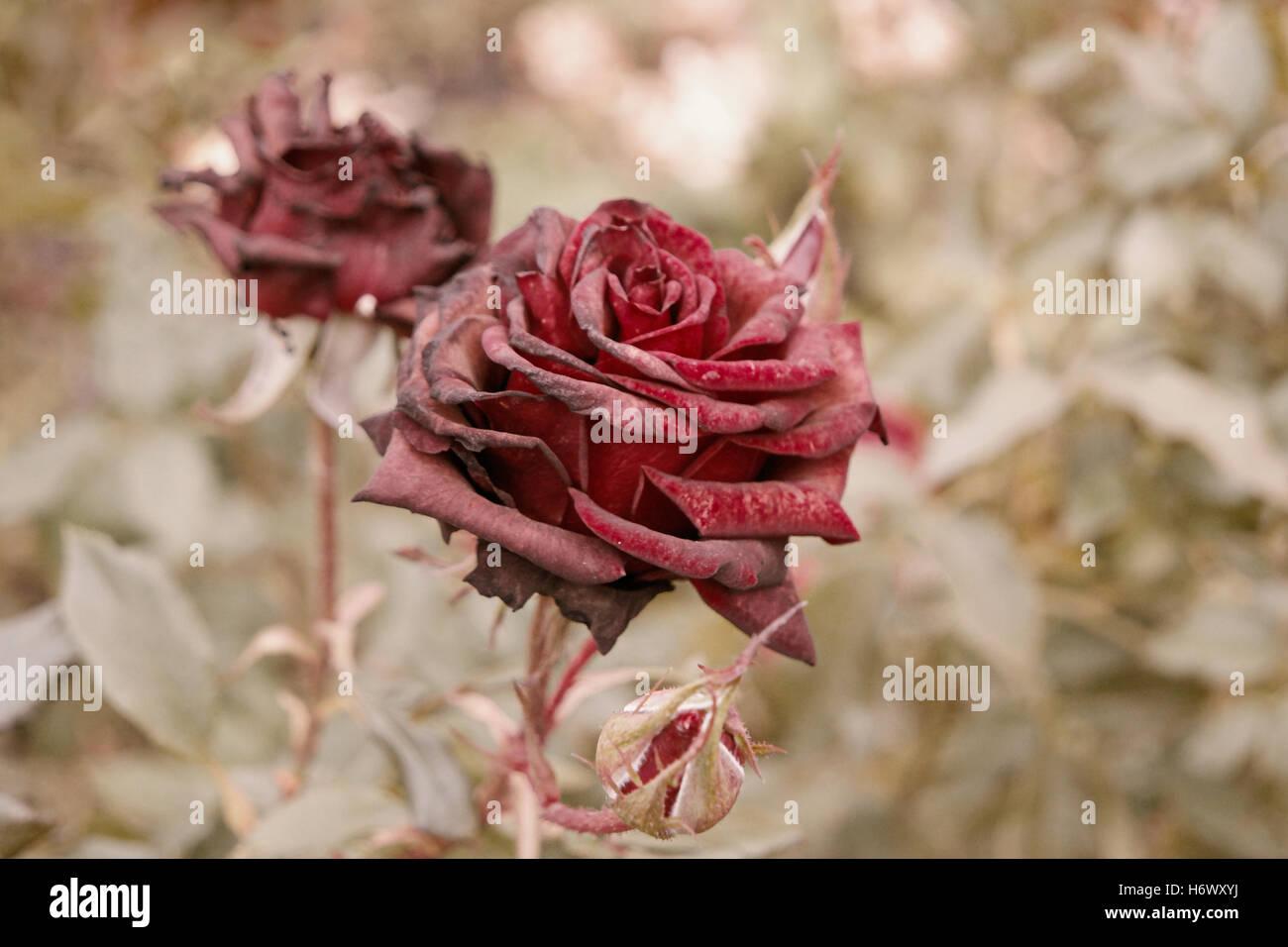 tiefrote rosen im herbst garten zwei rosen blumen sterben im herbst viel platz f r text. Black Bedroom Furniture Sets. Home Design Ideas