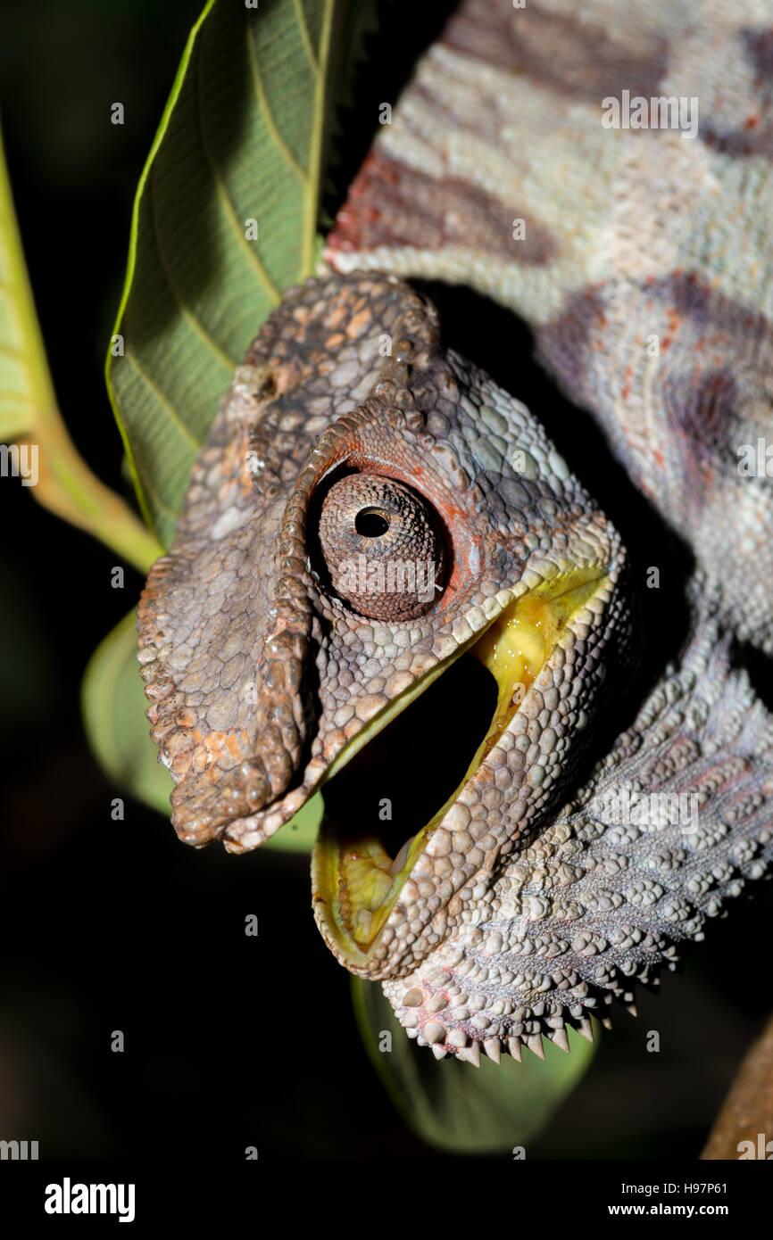Wütend große Pantherchamäleon (Furcifer Pardalis) mit geöffneten Mund auf Ast im Regenwald im Stockbild