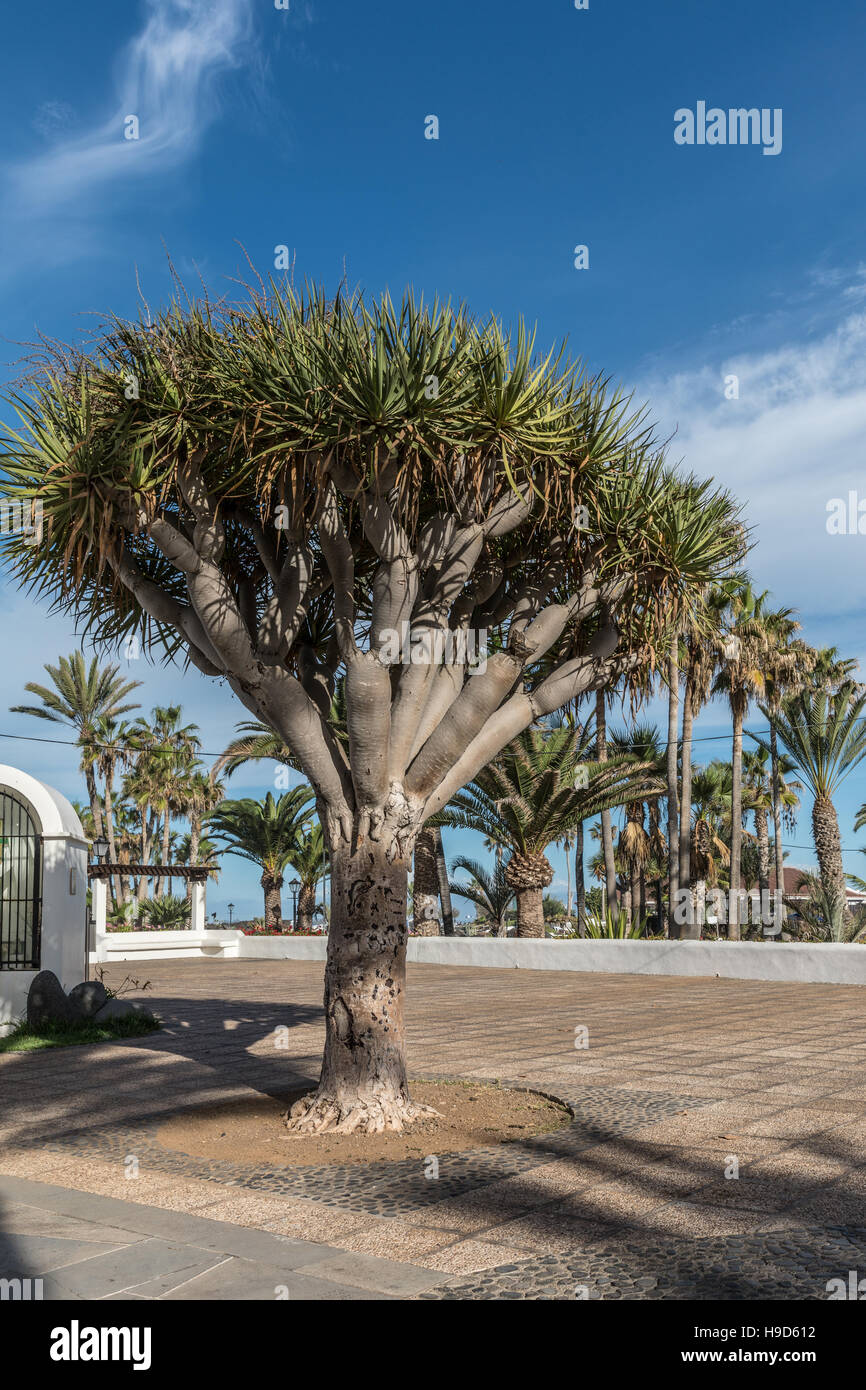 Kanarische Inseln-Drachenbaum Stockfoto