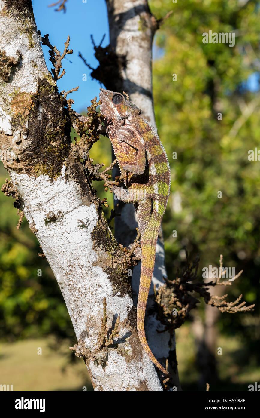 Pantherchamäleon (Furcifer Pardalis) auf Baum im Regenwald Masoala Park, Provinz Toamasina, Madagaskar Tier Stockbild